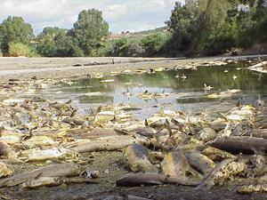 Peces muertos en el Guadiaro