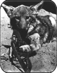 coyote en cepo